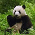 Pandas Puzzle
