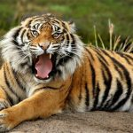 Animals Jigsaw Puzzle – Tiger