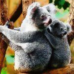 Cute Baby Koala Bear